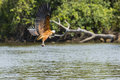 Black collared hawk taking off over river with beautiful and orange feathered wings spread wide this with a white head takes with Royalty Free Stock Image