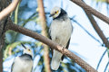 Black-collared Starling bird (Sturnus nigricollis) standing on the branch Royalty Free Stock Photo