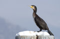 Black Cormorant Bird