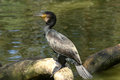 Black cormorant or great an aquatic bird that feeds on fish Stock Images
