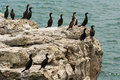 Black cormorants Royalty Free Stock Photography