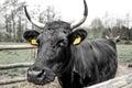 Black Cow Royalty Free Stock Photo