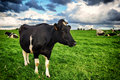 Black cow at green field Royalty Free Stock Photo