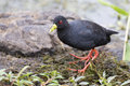 Black crake walking along the edge of a pond searching insects for Royalty Free Stock Image