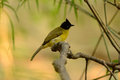 Black crested bulbul beautiful pycnonotus flaviventris in the tree Royalty Free Stock Images