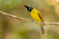 Black crested bulbul bird on the branch stair at us Royalty Free Stock Photography