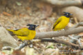 Black crested bulbul bird and his friend in nature Stock Images
