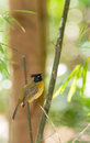 Black-crested Bulbul (Pycnonotus flaviventris)  bird Stock Photos