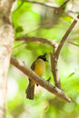 Black-crested Bulbul (Pycnonotus flaviventris)  bird Stock Images