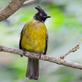 Black crested bulbul pycnonotus flaviventris bird breast profile Stock Photo