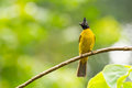 Black crested bulbul pycnonotus flaviventris bird in the fores forest thailand Royalty Free Stock Photos