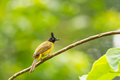 Black crested bulbul pycnonotus flaviventris bird in the forest in thailand Stock Images