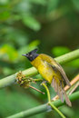 Black crested bulbul pycnonotus flaviventris bird in the forest in thailand Royalty Free Stock Photos