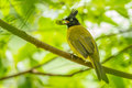 Black crested bulbul pycnonotus flaviventris bird with his food Royalty Free Stock Images