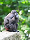 Black crested sulawesi macaques hugging Royalty Free Stock Photos