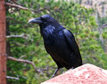 Black crow Royalty Free Stock Photos