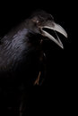 Black crow in black Royalty Free Stock Photo