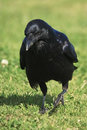 Black Crow on grass Stock Image