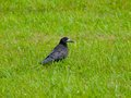 Black crow in the grass Royalty Free Stock Photo