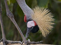 Black crowned crane latin name balearica pavonina Stock Image