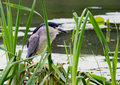 Black-Crowned Night Heron. Royalty Free Stock Image