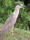Black crowned night heron Royalty Free Stock Photo