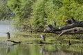 Black-crowned night-heron Stock Images