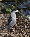 Black crowned Night-heron bird stock photo.  Black crowned Night-heron adult bird closeup profile foliage and water background Royalty Free Stock Photo