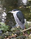 Black crowned Night-heron bird stock photo.  Black crowned Night-heron adult bird closeup profile view water and foliage Royalty Free Stock Photo
