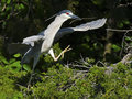 Black-crowned Night Heron with Branch Royalty Free Stock Photo