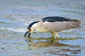 Black crowned night heron digging in the muck Stock Photos