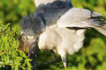 Black-crowned Night Heron Feeding Chick Royalty Free Stock Photo
