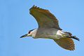 Black crowned night heron in flight Royalty Free Stock Photography