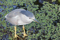 A black crowned night heron herons are stocky birds compared to many of their long limbed relatives they're most active at Royalty Free Stock Images