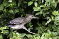 Black-crowned night heron juvenile Royalty Free Stock Photo