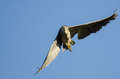 Black-Crowned Night-Heron Making Direct Eye Contact While Flying in a Blue Sky Royalty Free Stock Photo