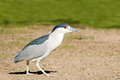 Black crowned night heron male walking on the grass Stock Photography