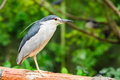 Black crowned night heron nycticorax nycticorax Royalty Free Stock Image