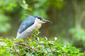 Black crowned night heron nycticorax nycticorax Stock Photo
