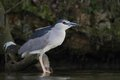 Black crowned night heron nycticorax nycticorax hunting and drinking the fish carp catch haul Stock Image