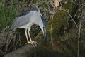 Black crowned night heron nycticorax nycticorax hunting the fish carp catch haul Stock Image