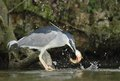 Black crowned night heron nycticorax nycticorax hunting the fish carp catch haul Stock Photo