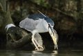 Black crowned night heron nycticorax nycticorax hunting the fish carp catch haul Stock Photos