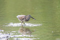 Black crowned night heron is eating a fish