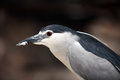Black-crowned Night Heron. Portrait Royalty Free Stock Photography