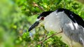 Black crowned night heron portrait close up of a standing on a tree branch in zoo miami south florida Stock Photography