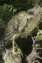 Black crowned night heron resting on the branch nycticorrax nycticorax an immature of Royalty Free Stock Images