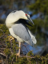 Black-crowned Night Heron sitting in a Tree Royalty Free Stock Photo
