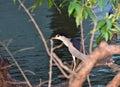 Black-crowned night heron Royalty Free Stock Photo