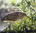 Black-Crowned Night-Heron Royalty Free Stock Photo